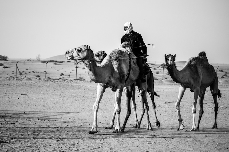 LOCAL CAMEL SHEPHERD