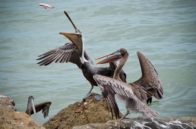 PELICAN CATCH