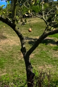 LONELY PEAR