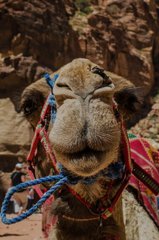 HEAD-ON CAMEL