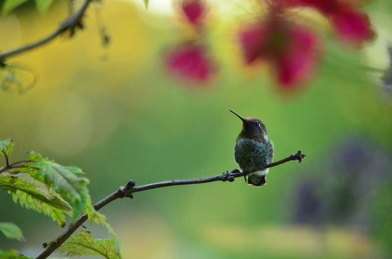 TREE PERCHED HUMMER