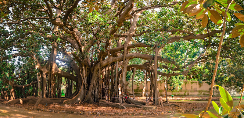BIGGEST BANYAN IN EUROPE
